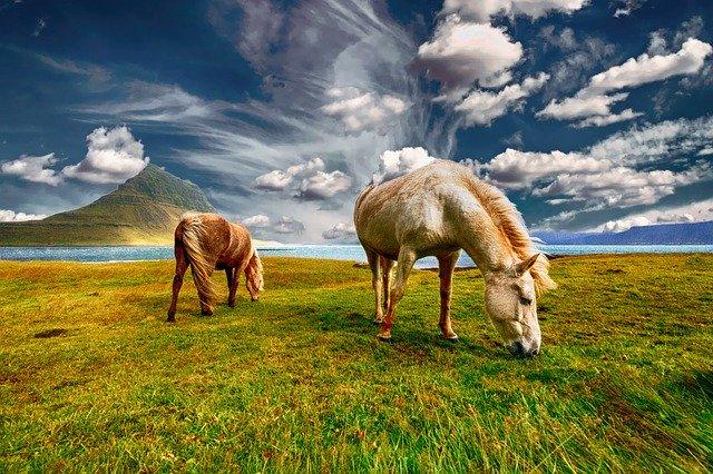 pasoucí se koně