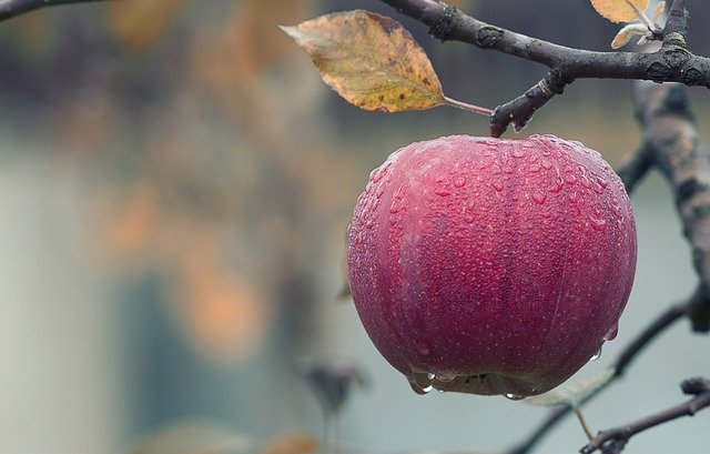 jablko na stromě